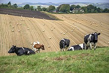 COws & Filds in teh Soth Downs